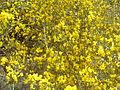 Aliaga(Genista scorpius) en primavera.jpg