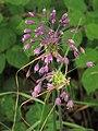 Allium carinatum subsp carinatum RF.jpg