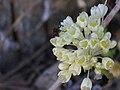 Allium pallens enfoque 2010-6-06 SierraMadrona.jpg