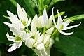 Allium ursinum 126089591.jpg