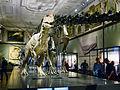 Allosaurus - Diplodocus NHM Wien.JPG