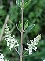 Aloysia gratissima (Verbenaceae) - flowers and leaves.jpg