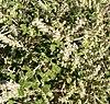 Aloysia wrightii 2