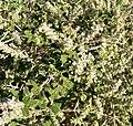 Aloysia wrightii 2.jpg
