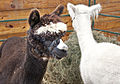 Alpacas - stylish hairdo - The Big E, 2014-09-24.jpg