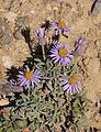 Alpine daisy Erigeron pygmaeus.jpg