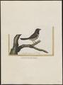 Amadina molucca - 1700-1880 - Print - Iconographia Zoologica - Special Collections University of Amsterdam - UBA01 IZ15900169.tif