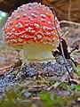 Amanita muscaria (10).jpg