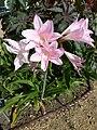 """Amarcrinum memoria-corsii """"Howardii"""" (Amaryllidaceae) (plant).JPG"""