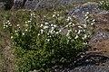 Amelanchier alnifolia 6452.JPG