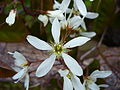 Amelanchier flower 04.jpg