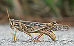 American Bird Grasshopper.jpg