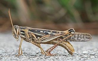 Grasshopper - American grasshopper (Schistocerca americana)