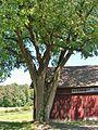 American Elm at Hill-Stead Museum Property, Farmington, CT - July 6, 2014.jpg