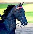 American Saddlebred (1).jpg