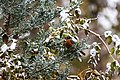 American robin (30946242577).jpg