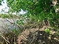 Amorpha fruticosa 3.jpg