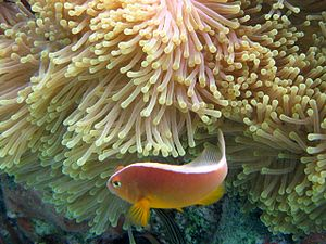 Pink skunk clownfish - Image: Amphiprion akallopisos 2010