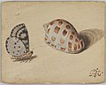 An Arrowhead Blue Butterfly and a Scotch Bonnet Sea Shell MET DP834499.jpg