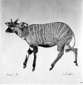 An antelope (bongo). Lithograph by Jonathan Kingdon. Wellcome L0024952.jpg