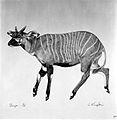 An antelope (bongo). Lithograph by Jonathan Kingdon. Wellcome L0024952.jpg