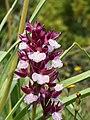 Anacamptis papilionacea (flower spike).jpg