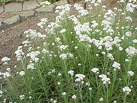 Anaphalis margaritaceae0.jpg