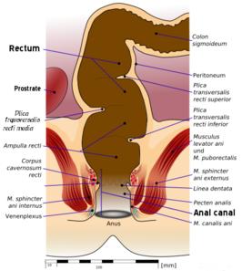 A mans anus anatomy