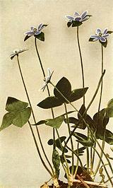 Anemone acutiloba WFNY-069B.jpg