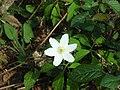 Anemone nemorosa.003 - Fragas do Eume.jpg