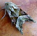Angle Shades. Phlogophora meticulosa - Flickr - gailhampshire (2).jpg