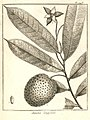 Annona longifolia Aublet 1775 pl 248.jpg