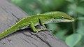 Anole Lizard Hilo Hawaii NR.jpg