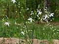 Anthericum ramosum Kiev1.jpg