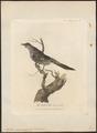 Anthochaera carunculata - 1789 - Print - Iconographia Zoologica - Special Collections University of Amsterdam - UBA01 IZ19200043.tif