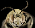 Anthophora montana, M, Face, Larimer Co, CO 2013-12-11-11.32.09 ZS PMax (11455947763).jpg