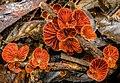 Anthracophyllum archeri 565526.jpg