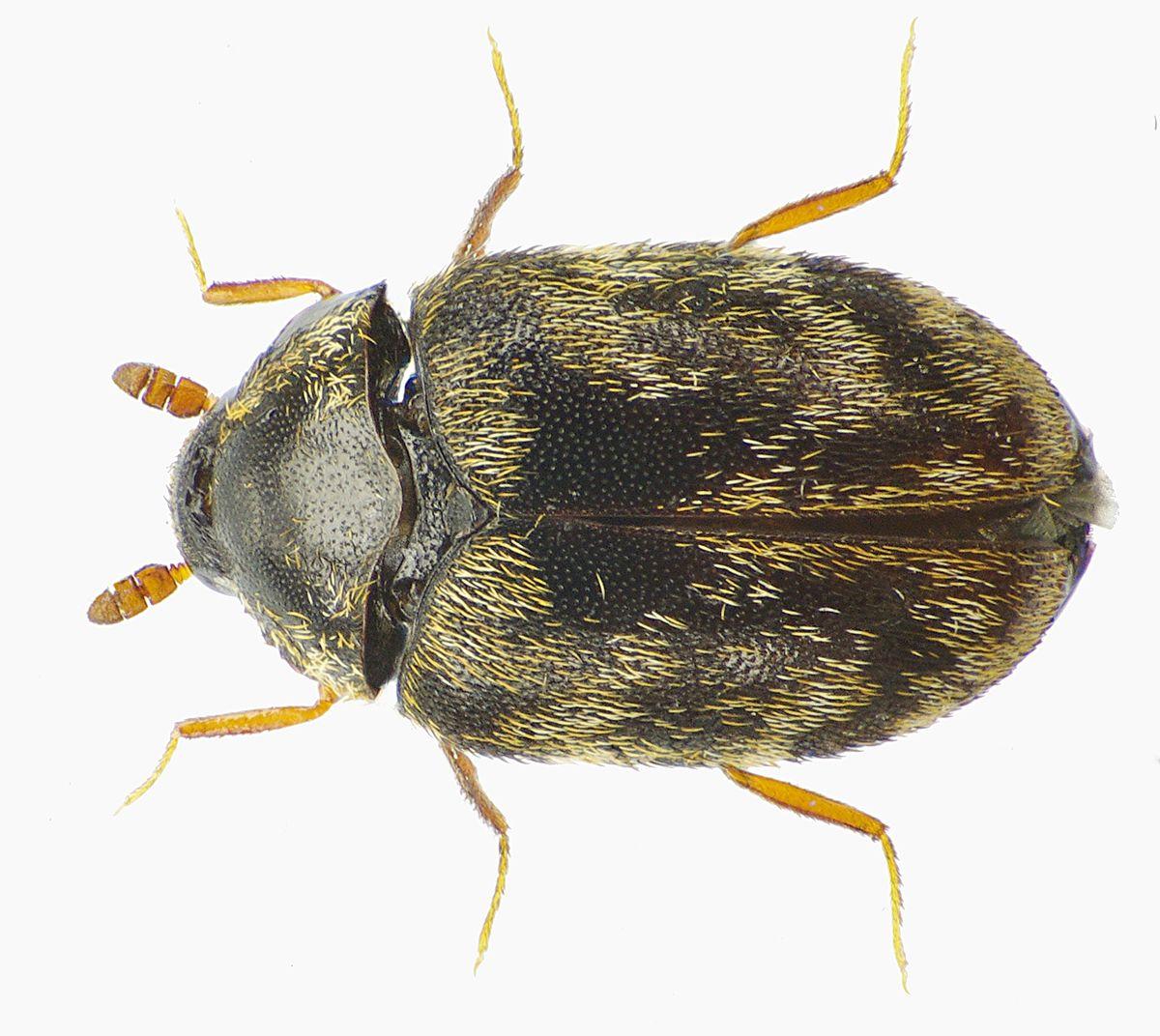 Anthrenocerus Australis Wikipedia