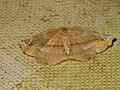 Apeira syringaria - Lilac beauty - Пяденица сиреневая (40878994532).jpg