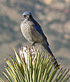Aphelocoma californica Red Rock Canyon 2.jpg