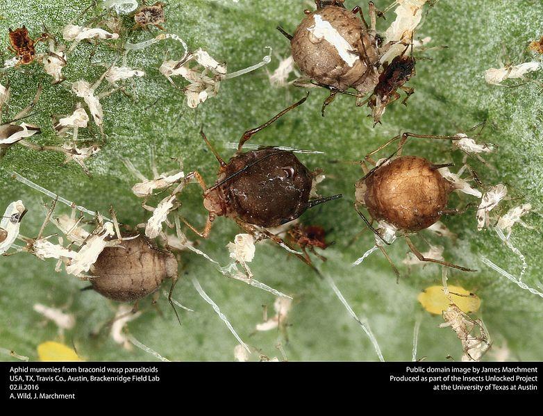 File:Aphid mummies - Aphidae - Braconidae (24662659932).jpg