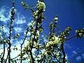 April Black Water Schwarzwaldwasser Cherry Blossom - Master Mythos Black Forest Photography 2013 - panoramio.jpg