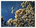 April Kirsch Blüte - Master Seasons Rhine Valley 2013 cherry blossom - panoramio (1).jpg