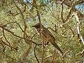 Arabian Babbler - panoramio.jpg
