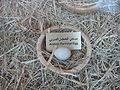 Arabian Patridge Egg.JPG