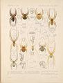 Arachnida Araneidea Vol 1 Table 27.jpg