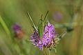 Araignées, insectes et fleurs de la forêt de Moulière (Les Chirons Noirs) (29010831206).jpg