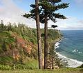 Araucaria heterophylla Norfolk Island 4.jpg