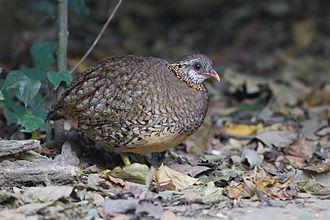 Green-legged partridge - Image: Arborophila chloropus Kaeng Krachan