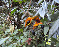 Archidendron monadelphum 01.JPG
